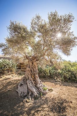 Olive tree - p550m1138387 by Thomas Franz