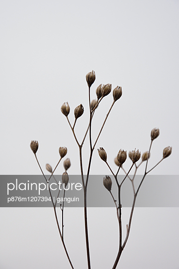 withered plant calyx - p876m1207394 by ganguin