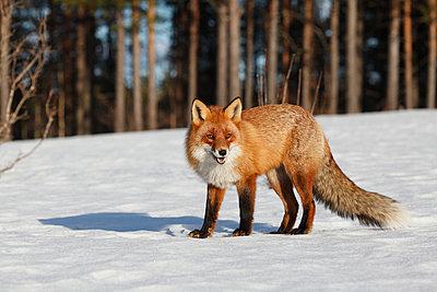 Fox in winter - p235m900457 by KuS