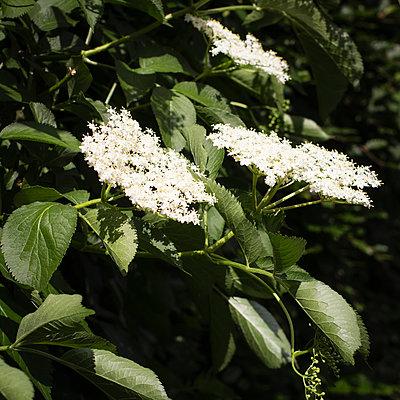 White blooming elderflowers - p300m2242940 by Eva Gruendemann
