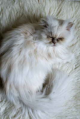 Fluffy cat - p1041m865591 by Franckaparis
