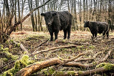 Gallowayrinder im Naturschutzgebiet - p1222m2172189 von Jérome Gerull