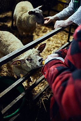 Feeding lambs with a milk bottle - p1573m2272544 by Christian Bendel