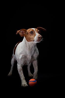 Terrier - p587m1466511 von Spitta + Hellwig