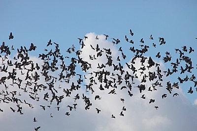 Viele Tauben - p2351255 von KuS