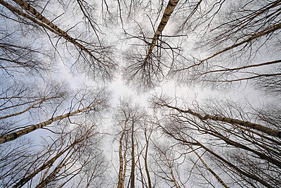 View from below of towering birch trees reaching for the sky - p301m2016802 by berkpixels