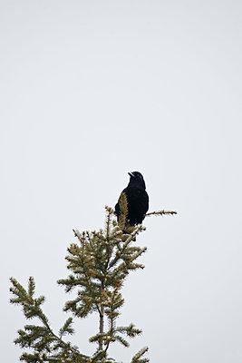 Ein Rabe sitzt auf einem Baumwipfel - p533m1589674 von Böhm Monika
