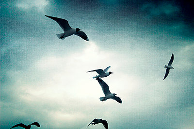 Seagulls in the sky - p879m893598 by nico