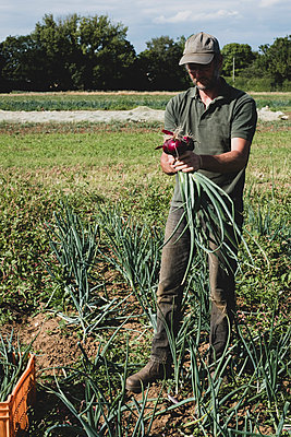 Farmer standing in a field holding freshly picked red onions. - p1100m2271504 by Mint Images