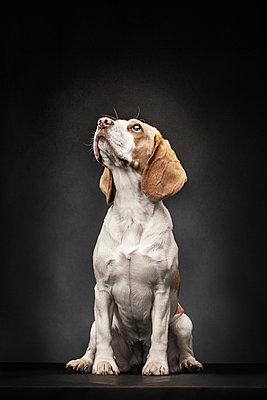 Beagle - p403m937629 by Helge Sauber