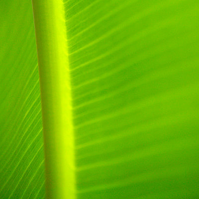 Green banana leaf - p4091072 by Peter Weihs