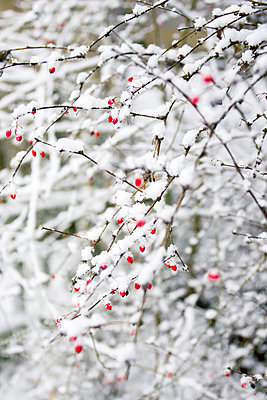Red berries covered with snow - p879m1538805 by nico