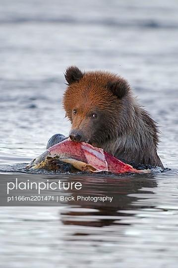 Grizzly bear(Ursusarctosssp.) feeding on salmon in river, Katmai National Park, Alaska, USA - p1166m2201471 by Beck Photography