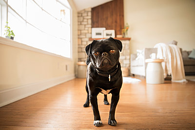 Portrait of black pug standing at home - p1166m1144761 by Cavan Images