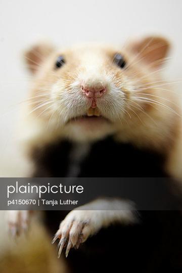 Ausgestopfter Hamster - p4150670 von Tanja Luther