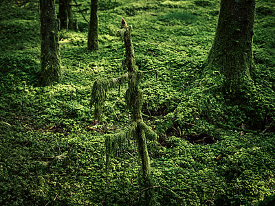 Moss covered forest floor - p1481m2203807 by Peo Olsson