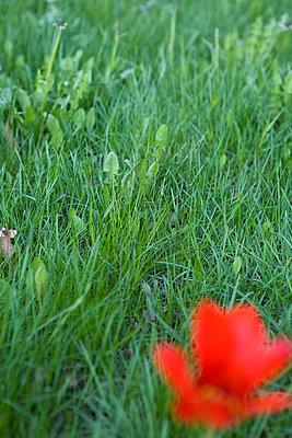 Rote Blume - p4470197 von Anja Lubitz