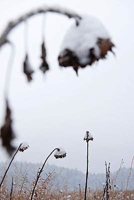 Withered sunflowers in winter - p533m1104426 by Böhm Monika