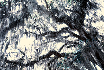 USA, Spanish moss on trees - p1154m2289172 by Tom Hogan