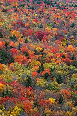 Deciduous forest in autumn, Blue Ridge Parkway, Virginia - p884m1130665 by Hiroya Minakuchi