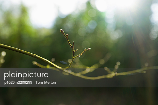 Close up buds on green tree branch - p1023m2208299 by Tom Merton