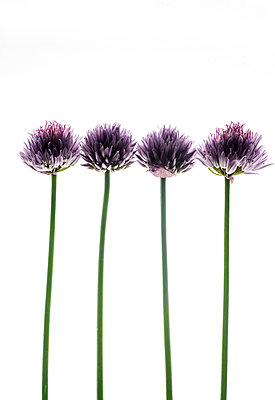 Macro of Chive Flowers - p1309m1146874 by Robert Lambert