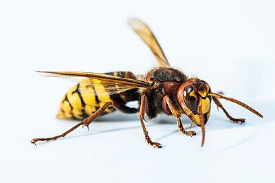European hornet, Vespa crabro - p1437m2057075 by Achim Bunz