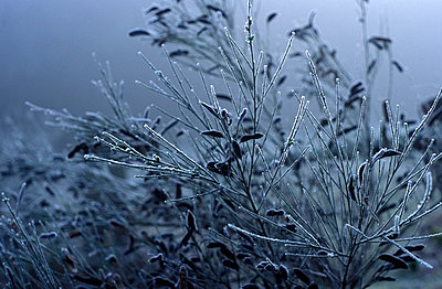 Plants with glazed frost in the fog - p2686585 by Katarzyna Zommer