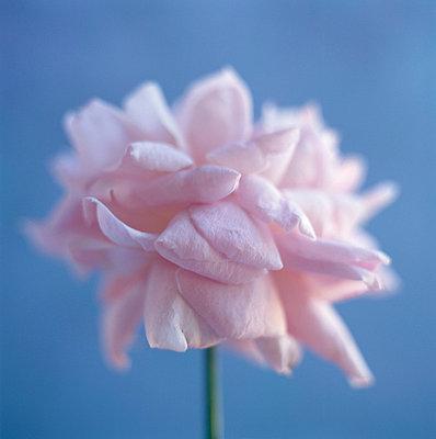 Rose - p4950151 von Jeanene Scott