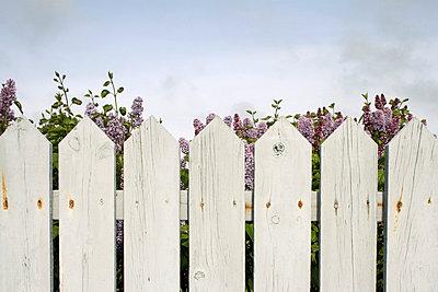 Lilac - p4640420 by Elektrons 08