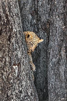Botswana, Vumburua Plains, Okavango Delta. A leopard cub descending a tree. - p652m1505133 by Nigel Pavitt