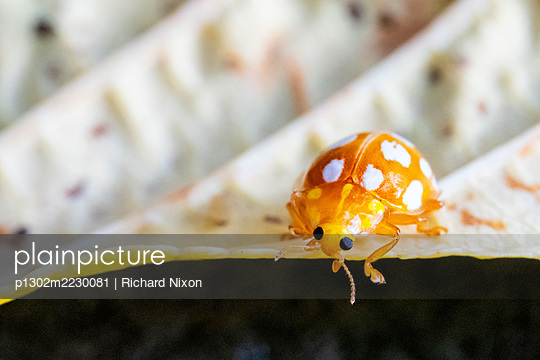 An Orange ladybird, Halyzia sedecimguttata, on a fallen autumn leaf - p1302m2230081 von Richard Nixon
