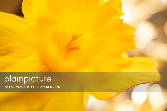 Daffodil - p1620m2270130 by Cornelia Greil