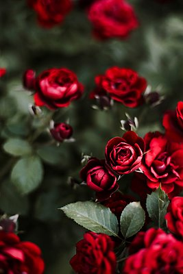 Roses in a garden at sunset. - p1166m2088039 by Cavan Images