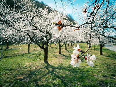 Austria, Wachau, Apricot blossoms - p300m1581385 by EJW