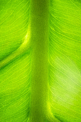 Green leaf and veins - p62314363f by Odilon Dimier