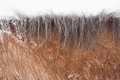 Horse Mane in Snow - p694m2097280 by Lori Adams