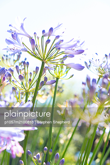 Delicate bloom of a fresh Agapanthus flower set against the brigh background sunshine. - p1057m2100818 by Stephen Shepherd