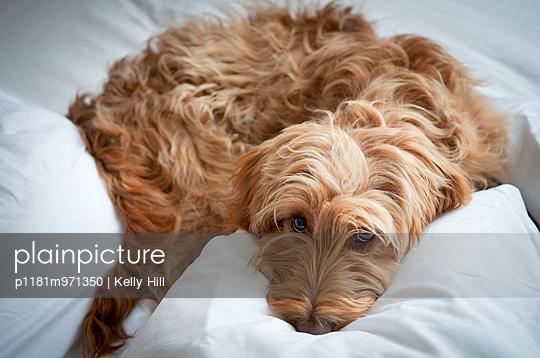 Cocker Spaniel - p1181m971350 von Kelly Hill