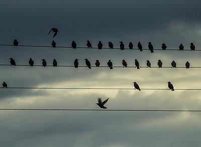 Birds on a wire - p858m853001 by Lucja Romanowska