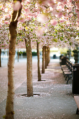 View of cherry blossom trees in a row - p1025m789148f by Fotograf Birgersdotter AB