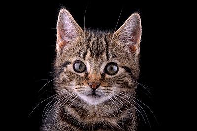 Portrait of tabby kitten, Felis silvestris catus, in front of black background - p300m950516f by Mark Johnson