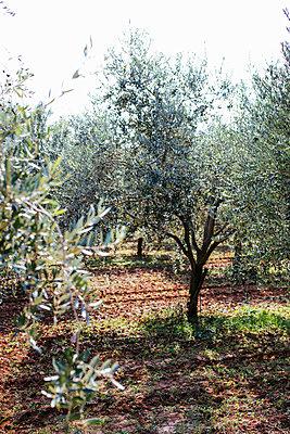 Olivenhain in der Nähe von Vrsar - p728m2027248 von Peter Nitsch