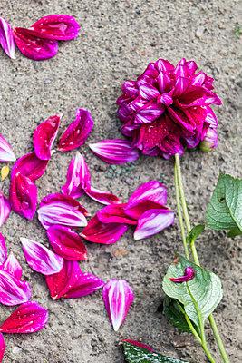 Verblühte Dahlie - p739m940336 von Baertels