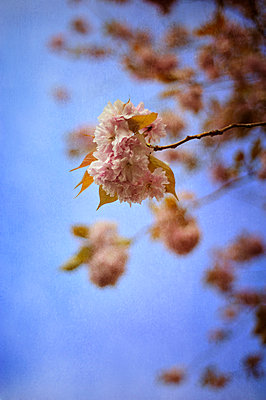 Pink blossom - p1047m899862 by Sally Mundy