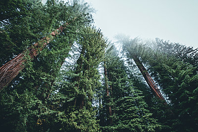 Low angle view of trees growing in forest at Redwood National and State Parks - p1166m1577657 by Cavan Images
