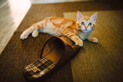 Ginger kitten playing with slipper on the carpet - p300m1568367 von Ramon Espelt