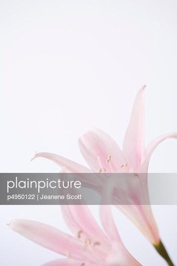 Amaryllis Belladonna - p4950122 von Jeanene Scott