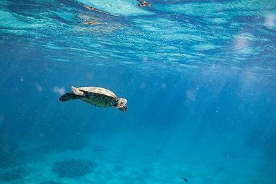Sea Turtle swimming beneath ocean surface in hawaii - p1166m2218496 by Cavan Images