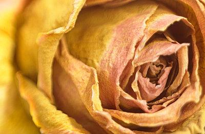 Rosenblüte - p5090068 von Reiner Ohms